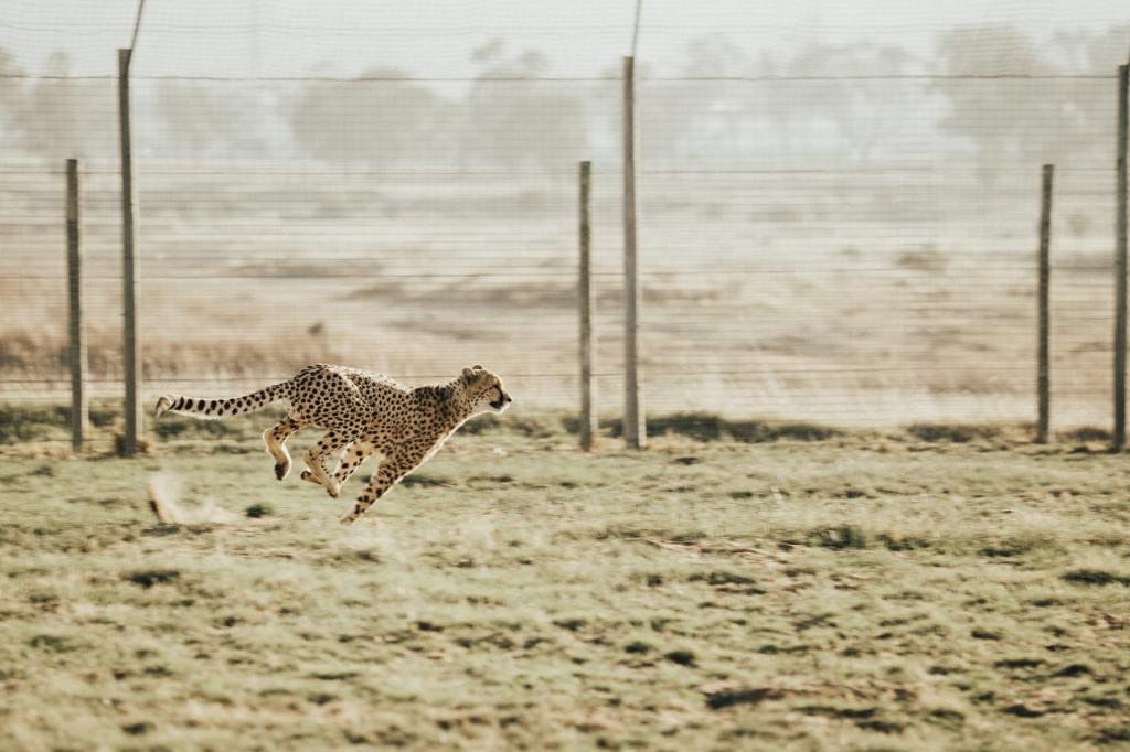 A cheetah sprinting.